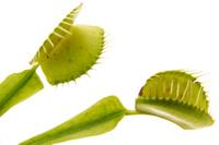 Plantes_carnivores